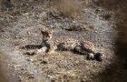 نگاره:  An important part of a #mining #road triggering the heart of the habitat for Asiatic #Cheetah is paved. The #construction had been announced forbidden by #DOE several times before but the road is on the verge of entrance to the #wildlife #shelter.بخش مهمی از جادهای که قلب #زیستگاه #یوزپلنگ ایرانی را نشانه گرفته و سازمان محیط زیست بارها احداث آن را ممنوع کرده اکنون آسفالت شده و در آستانه ورود به پناهگاه حیات وحش است.http://www.mehrnews.com/news/3909441/http://t.me/masoudborbor