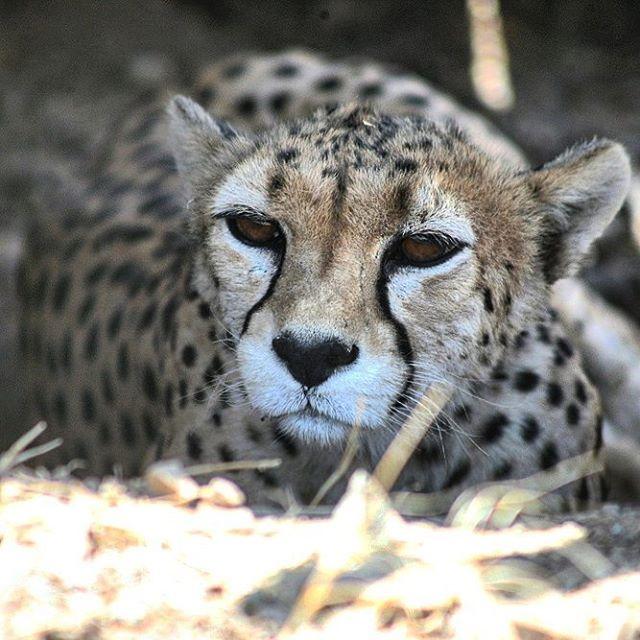 نگاره:  #یوزپلنگ ایرانی تنها، سایهبانی پیدا کرده بود، زیر آفتاب داغ تابستان.The alone #Asiatic #cheetah, had found a #sunshade under the #hot #summer #sunlight