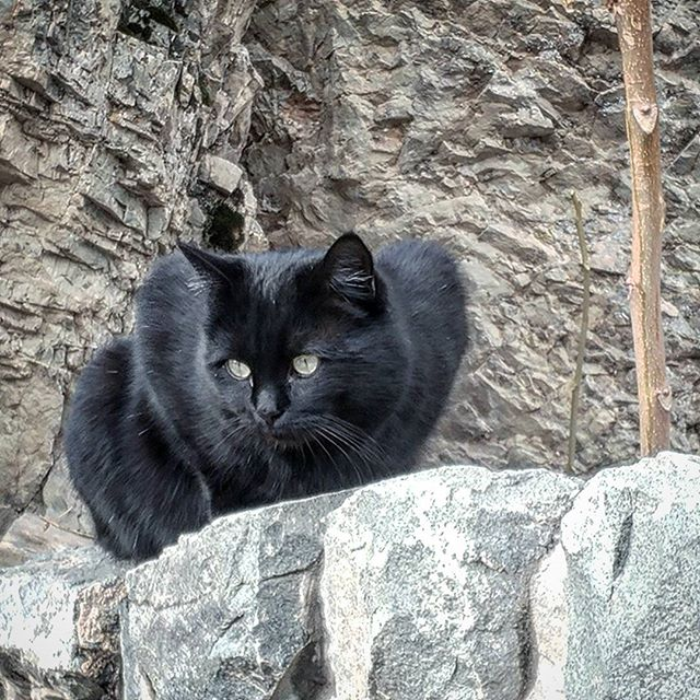 نگاره:  گربه شیر است در برابر موشلیک موش است در مصاف پلنگ